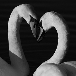 Swan_Couple_BW_Larger_Square